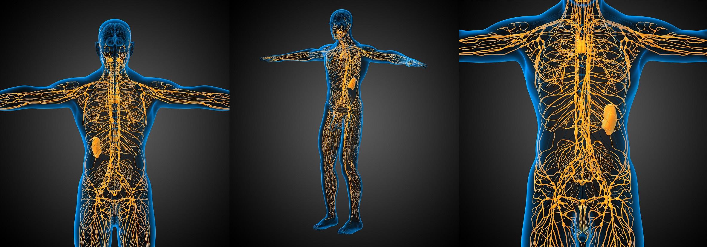 Abbildung des lymphatischen Systems beim Menschen